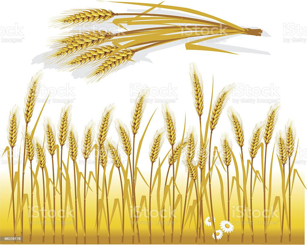 Wheat in the field and spike royalty-free stock vector art