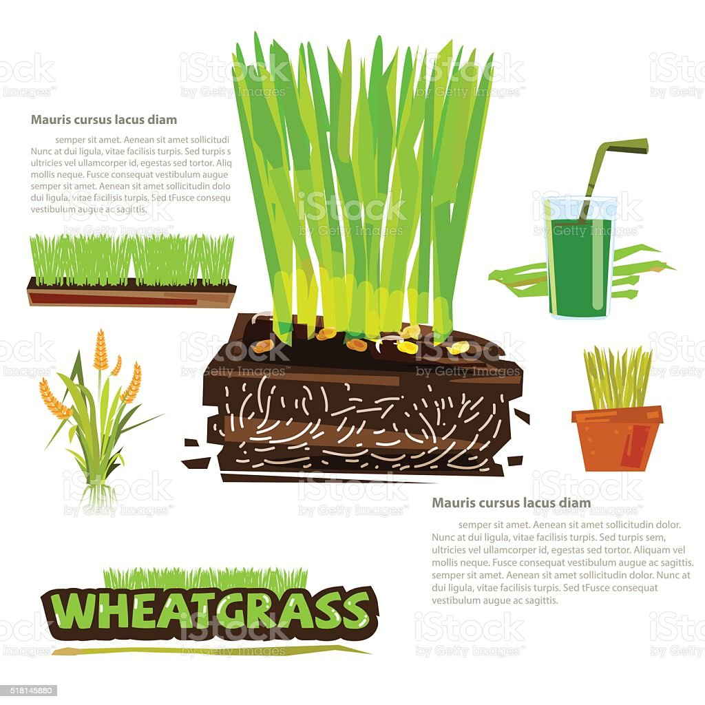 wheatgrass. infographic with icon set - vector vector art illustration