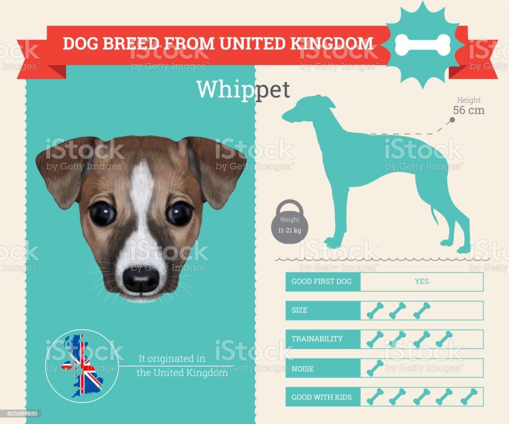 Whippet dog breed vector infographics vector art illustration