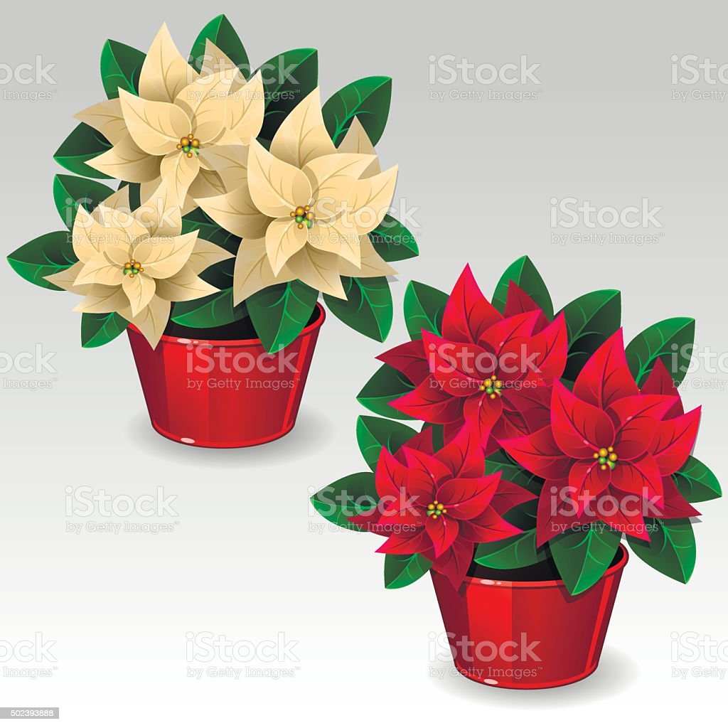 White and red poinsettia plants vector art illustration