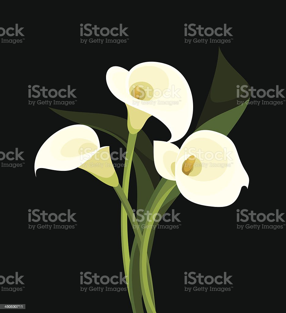 White calla lilies on black. Vector illustration. vector art illustration