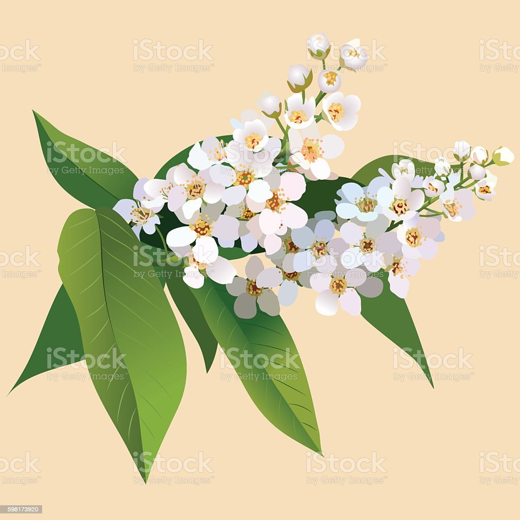 White cherries flowers with leaves and bud vector art illustration