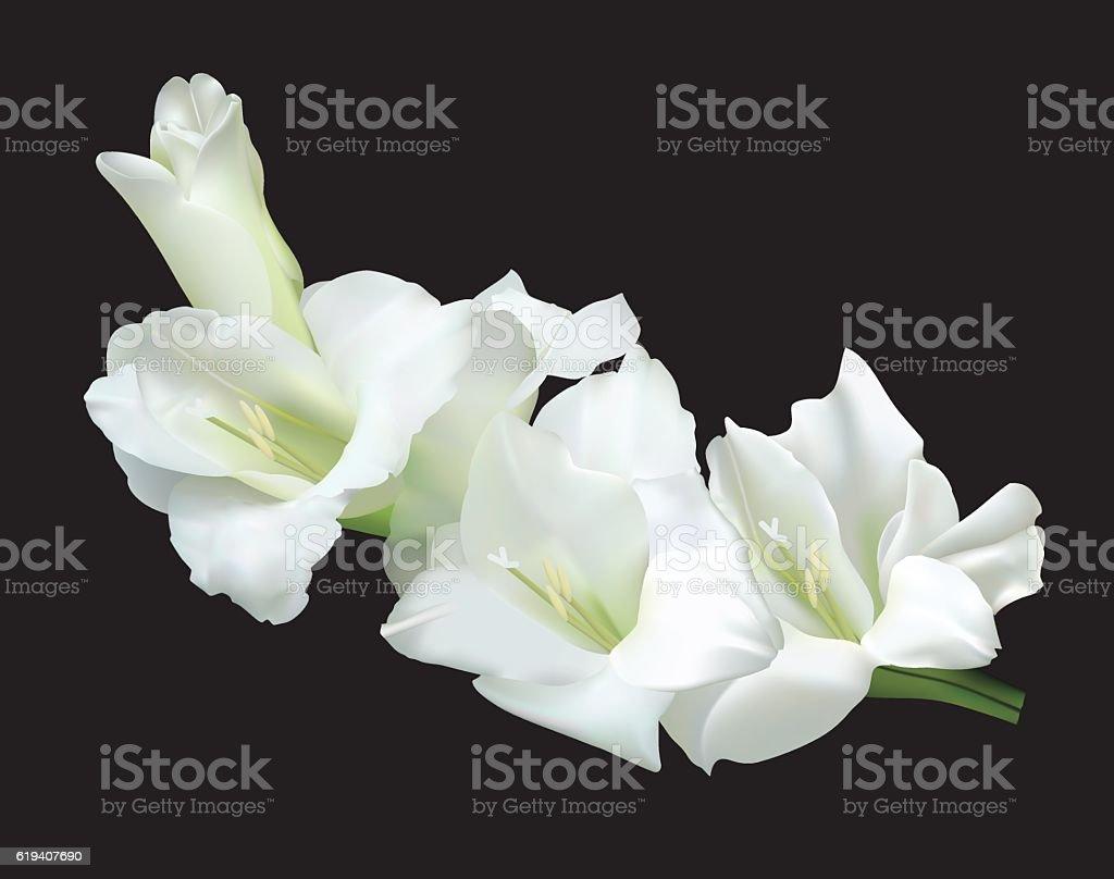 White gladiolus vector art illustration