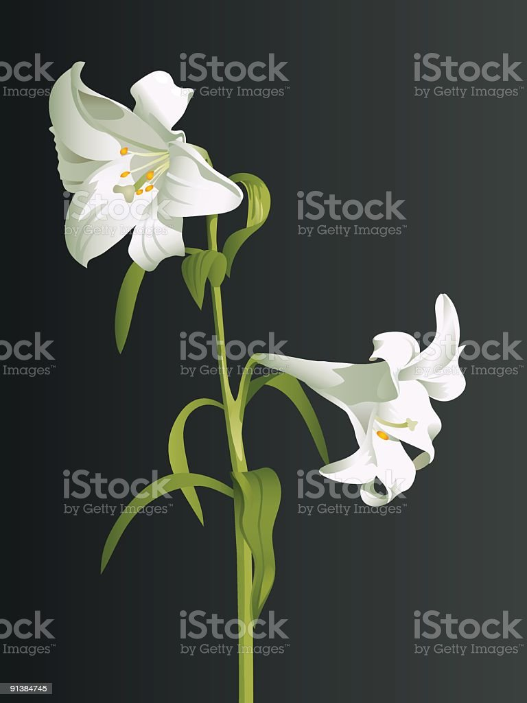 White lily branch royalty-free stock vector art