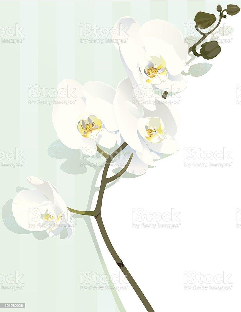 White Orchids vector art illustration