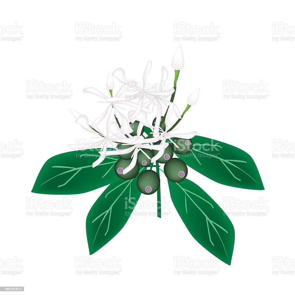 White Rubiaceae Flower or White Ixora Flower vector art illustration