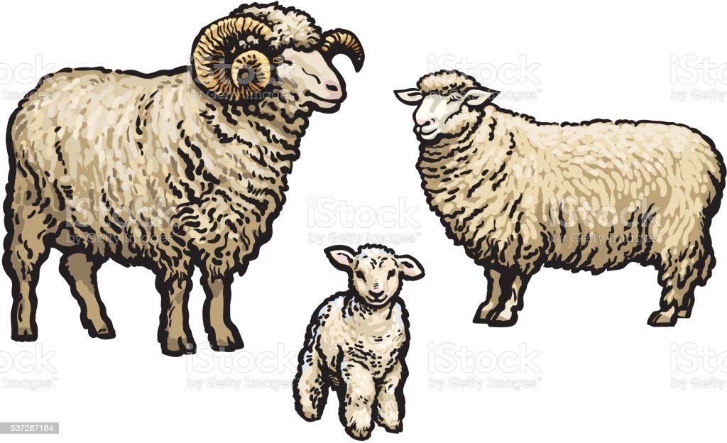 White sheep isolated vector art illustration