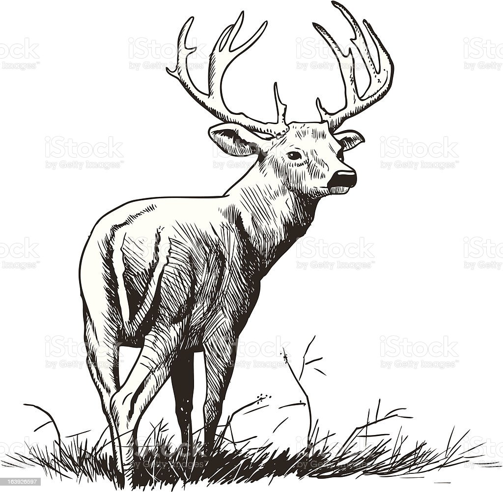 whitetail deer clip art vector images u0026 illustrations istock