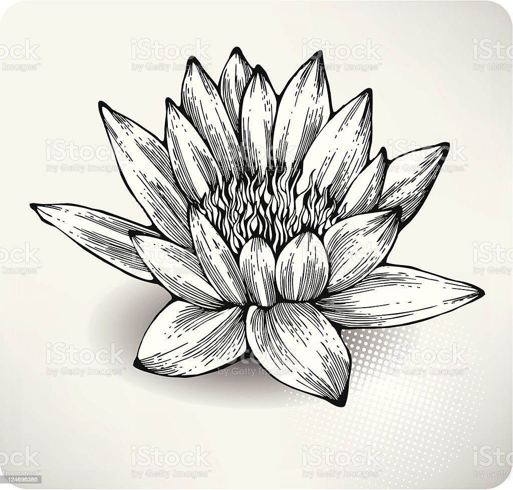 White water lily hand drawing royalty-free stock vector art
