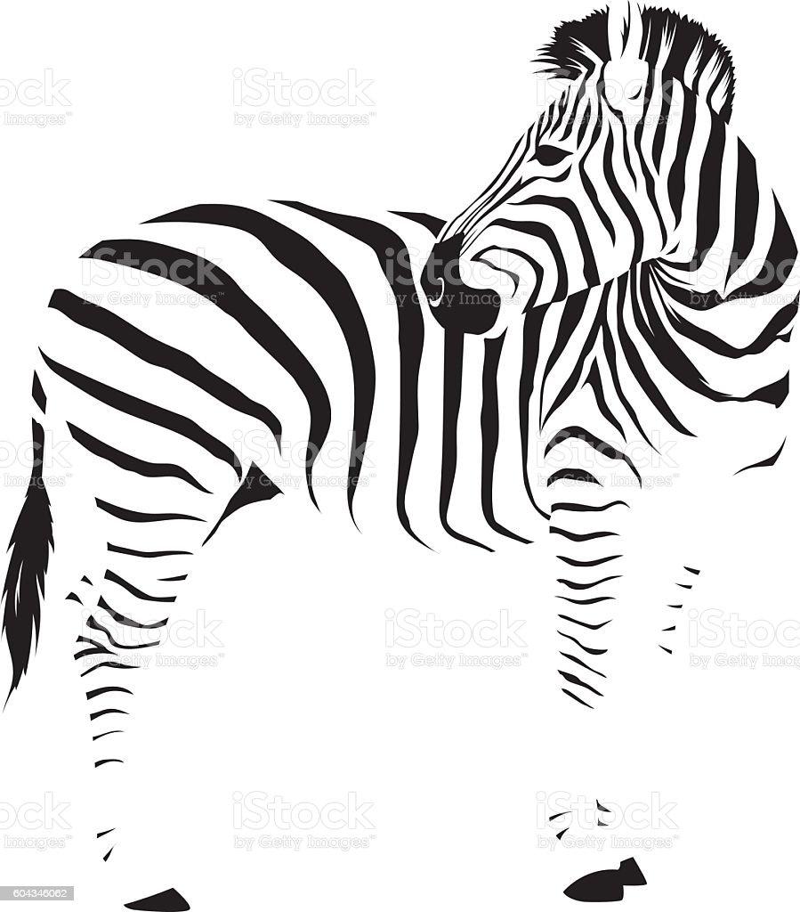 Wild African Zebra vector art illustration