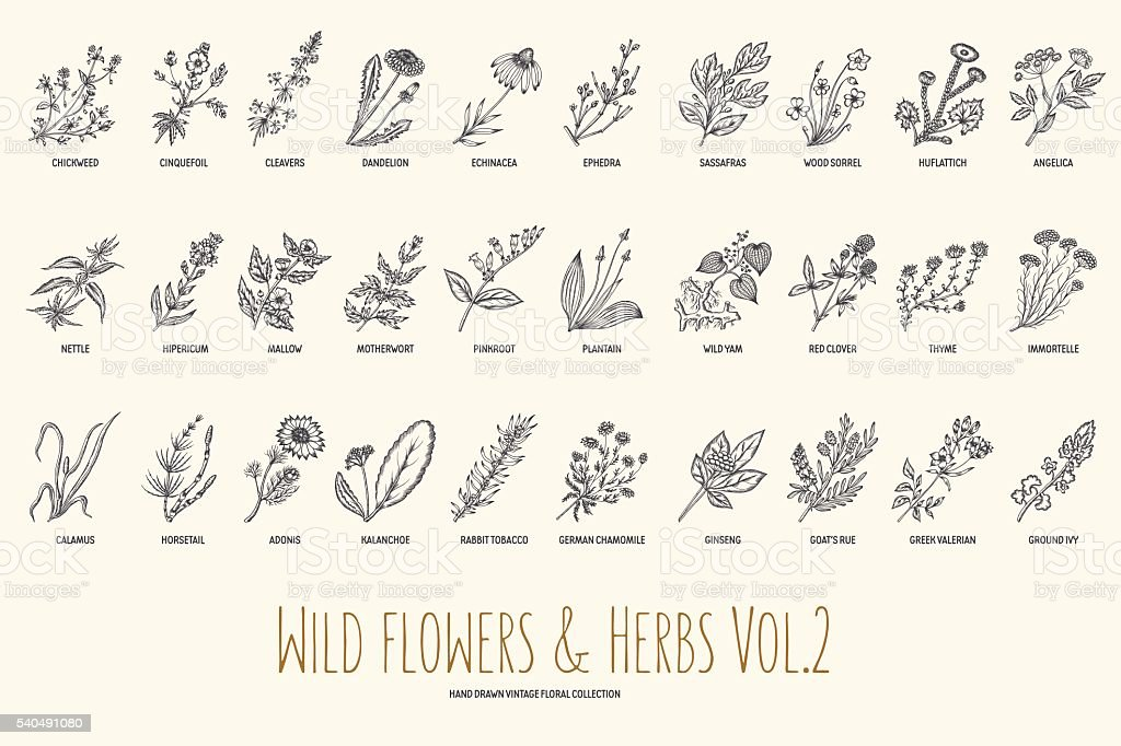Wild flowers and herbs hand drawn set. Volume 2. Vintage vector art illustration