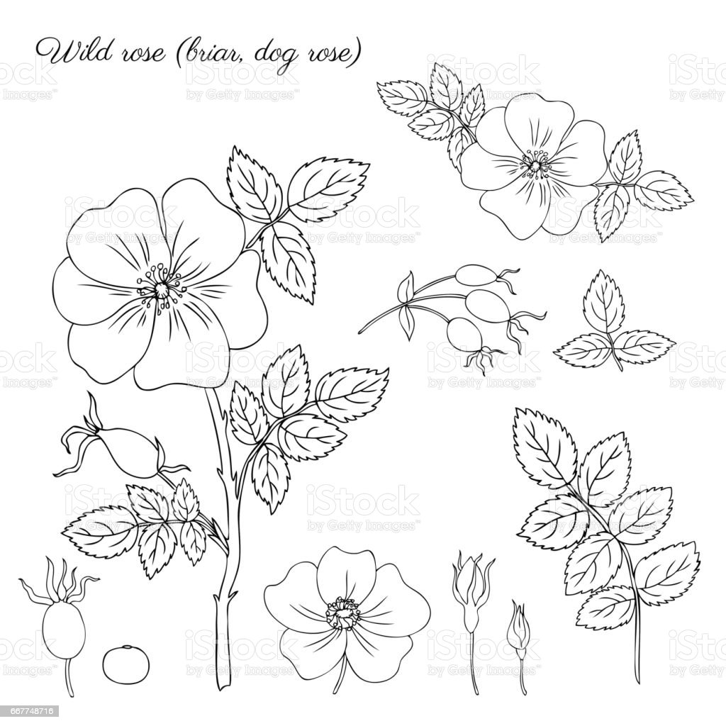 Wild Rose Briar Hand Drawn Dogrose Berry Vector Illustration