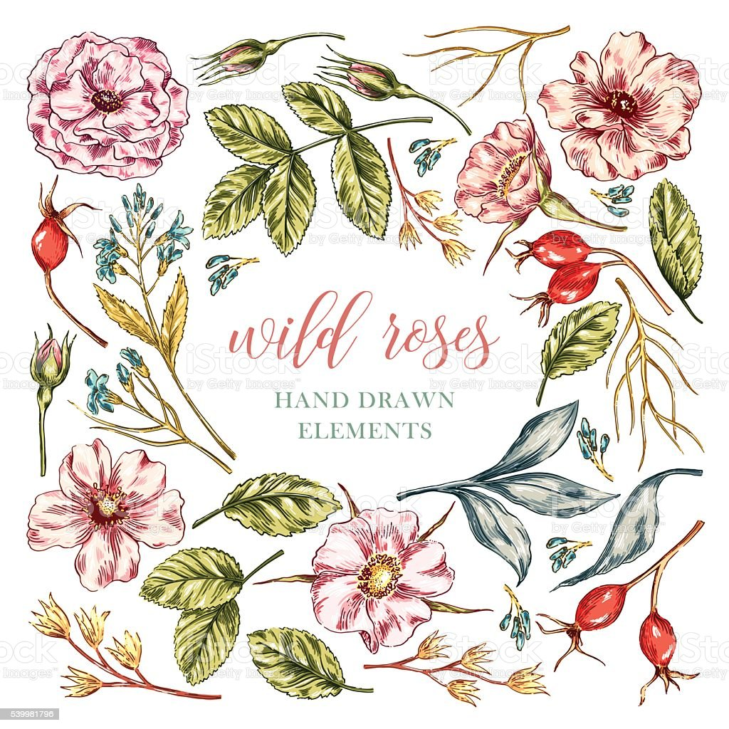 Wild rose flowers elements vector art illustration