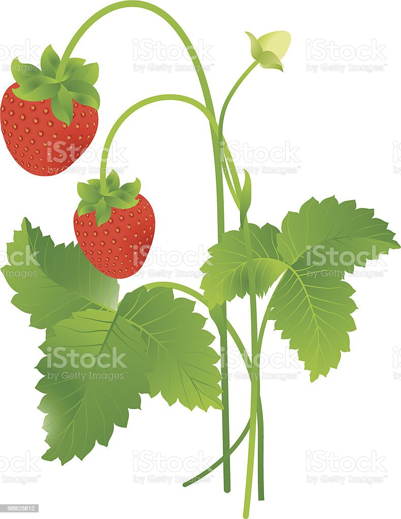 Wild strawberry royalty-free stock vector art