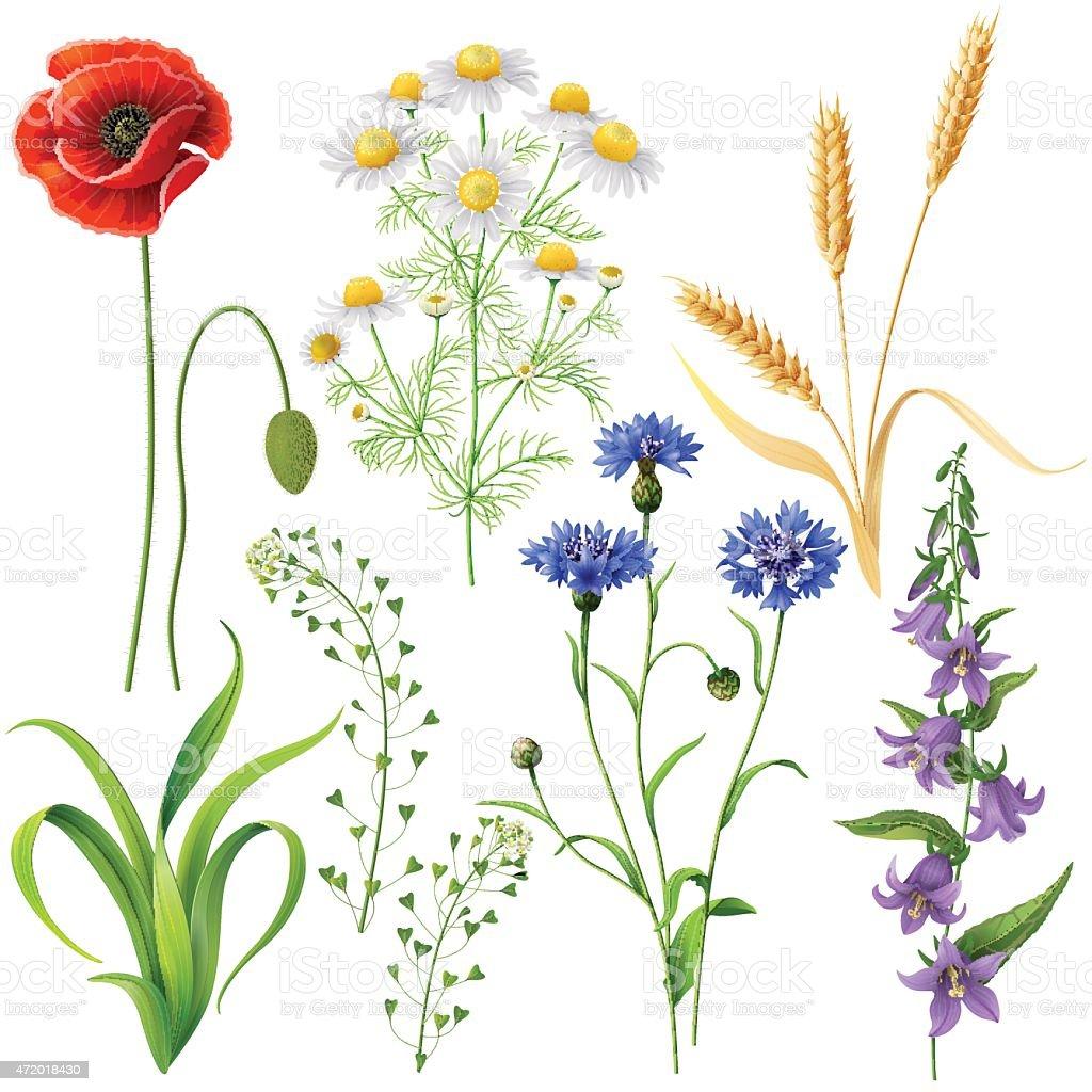 Wildflowers  Set vector art illustration