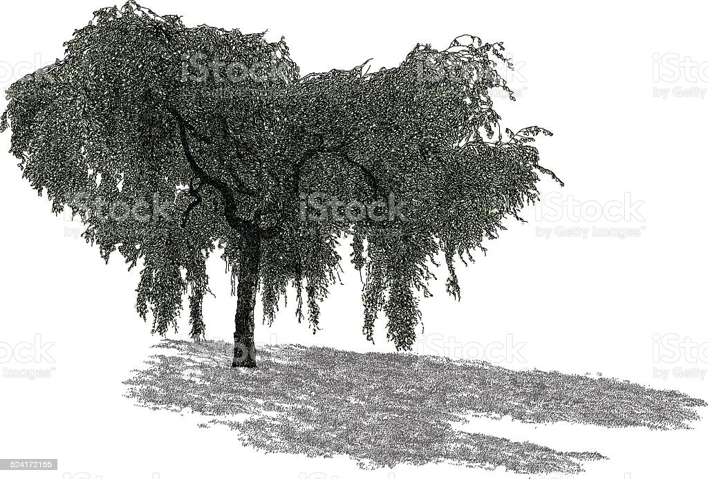 Willow vector art illustration