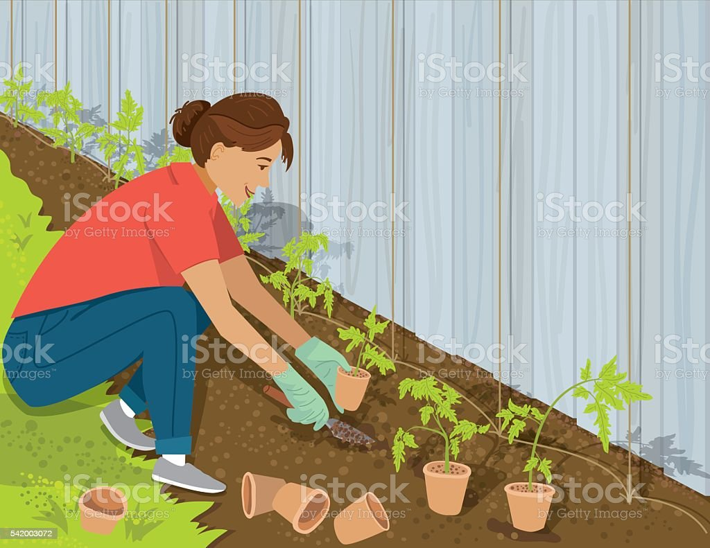 Woman Planting Tomatoes In Her Garden vector art illustration