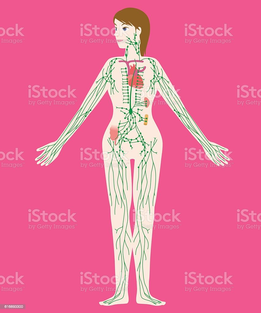 woman's lymph system anatomical chart, vector illustration vector art illustration