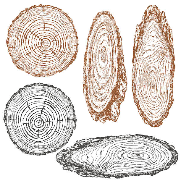 Tree Trunk Clip Art, Vector Images & Illustrations - iStock