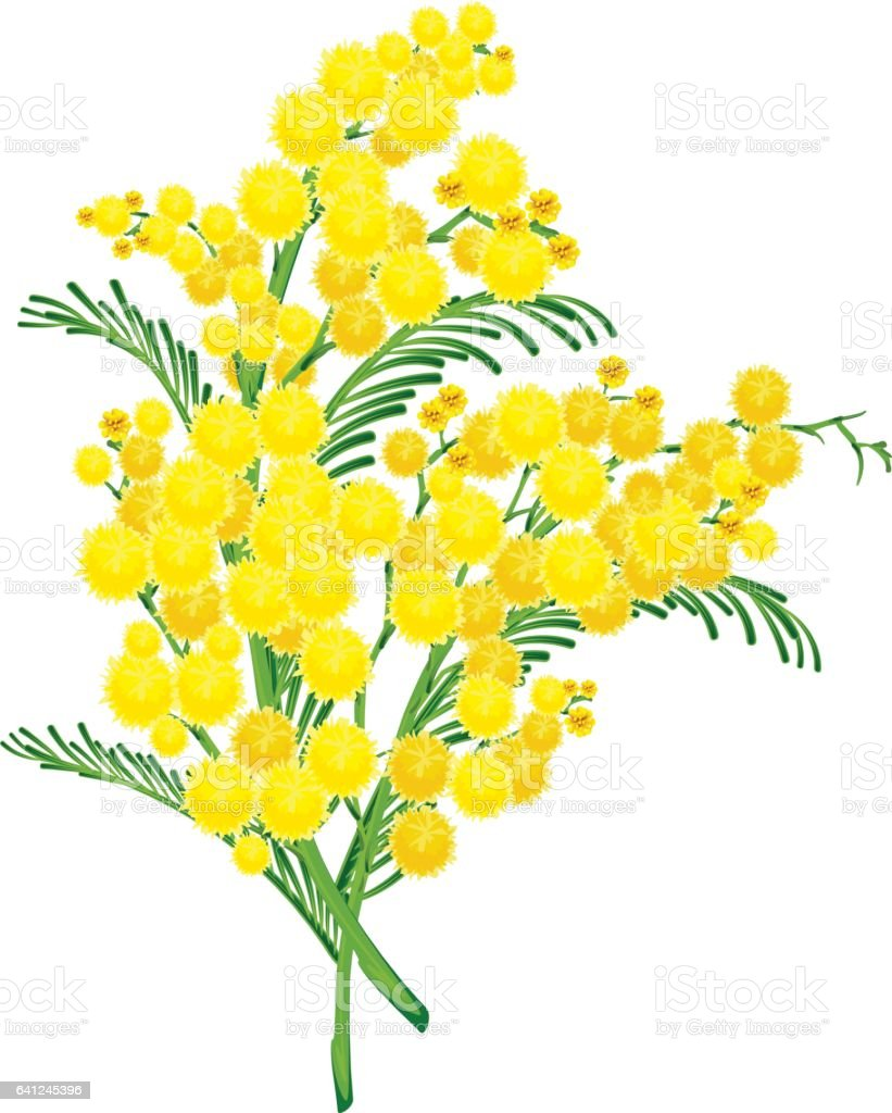 Yellow acacia blossom branch flower vector art illustration