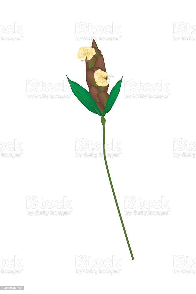 Yellow Barleria Lupulina Lindl Flower on White Background vector art illustration