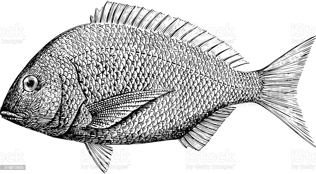Yellow Fin Bream vector art illustration
