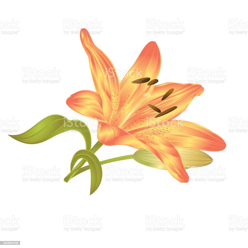 Yellow Lily Lilium candidum, a flower with leaves and bud on a white background vector illustration editable vector art illustration