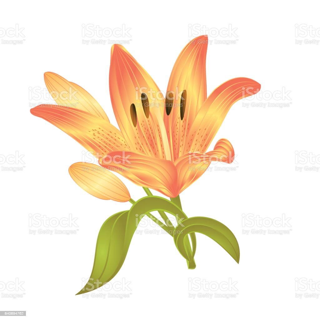 Yellow Lily  Lilium candidum,flower with leaves and bud on a white background vector illustration editable vector art illustration