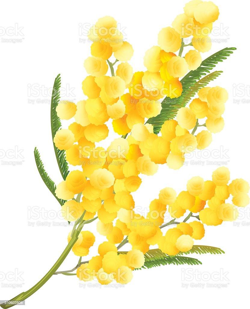 Yellow mimosa flower. Acacia flower symbol of Womens Day vector art illustration