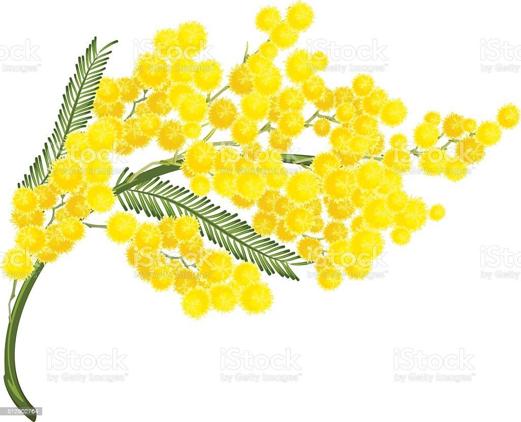 Yellow mimosa flower. Mimosa flower symbol of Womens Day vector art illustration