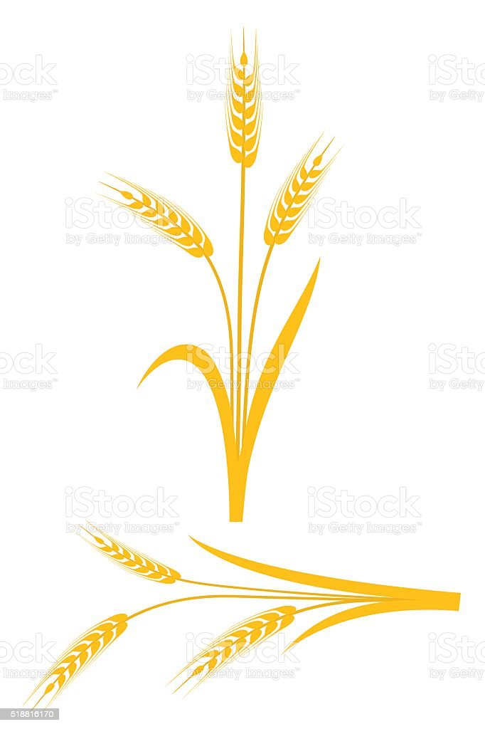 Yellow wheat ears on a white background vector art illustration