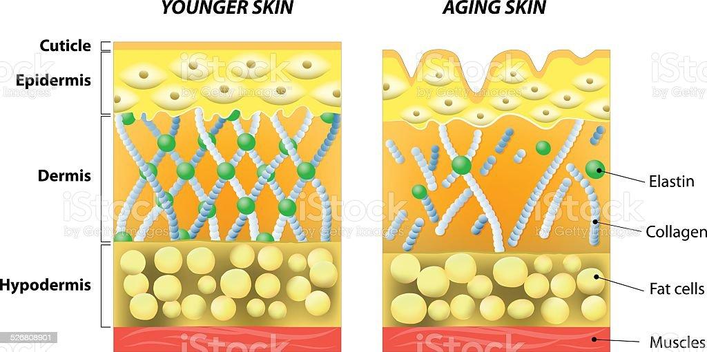 younger skin and older skin vector art illustration