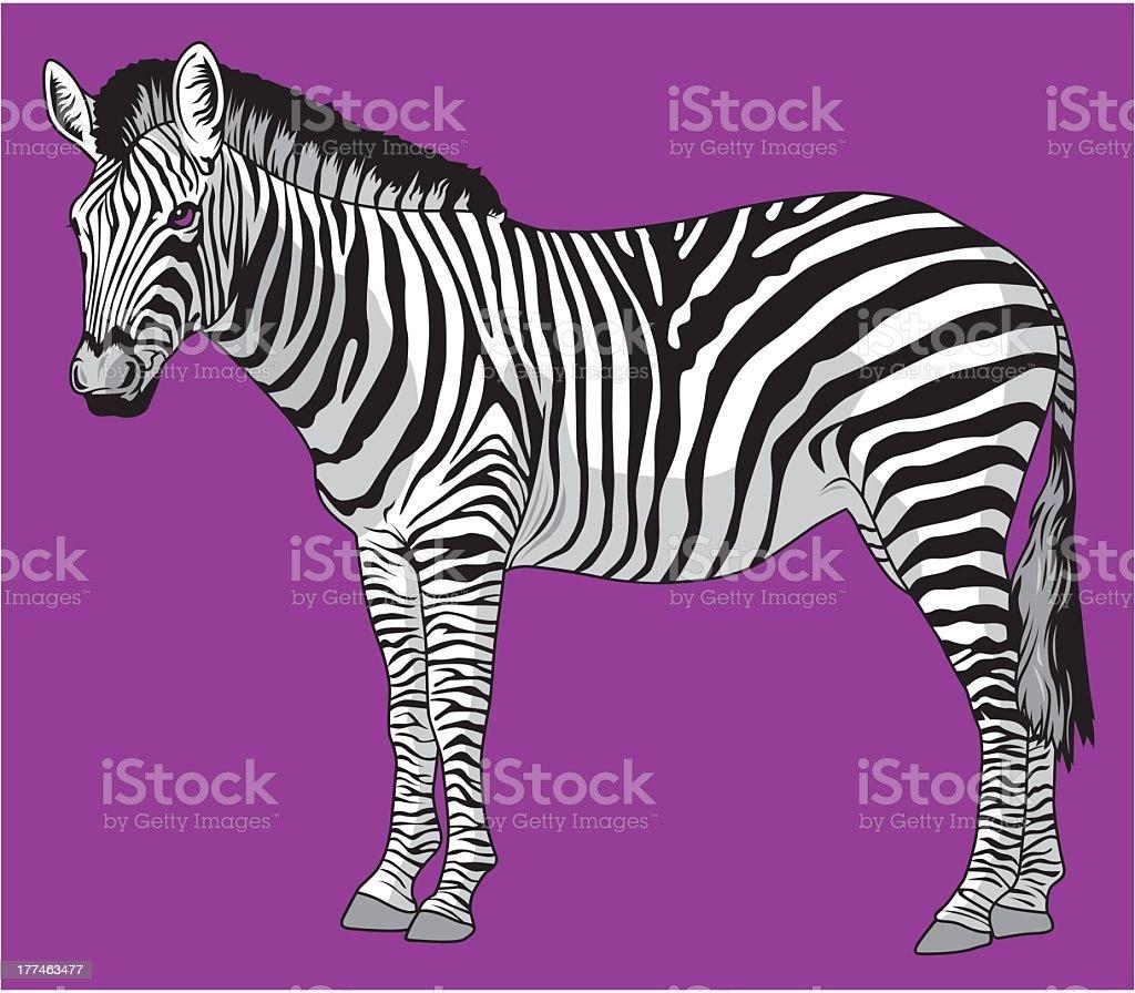 Zebra royalty-free stock vector art