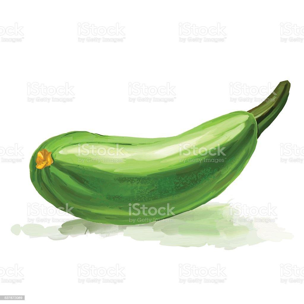 zucchini vector illustration  hand drawn  painted vector art illustration