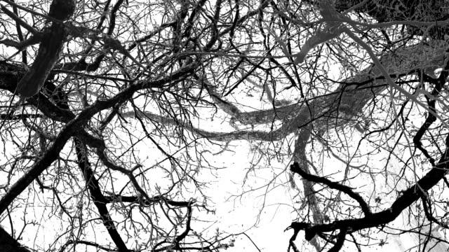 OLD CHESTNUT TREES: GREY. WHITE BACK (loop) video