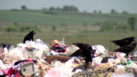 BLACK CROWS FIGHTING OVER GARBAGE video