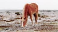 WINTER UK BEAUTIFUL WILD HORSE GRAZING video