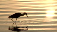 BIRD SEARCHING FOR FISH DURING SUNRISE video