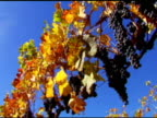 COLORFUL GRAPES (DV) video