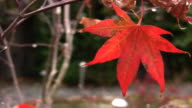 RED MAPLE LEAF (HD) video