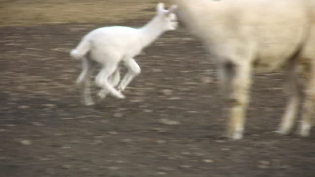 HD 1080i Alpaca Mother and Baby 2 video