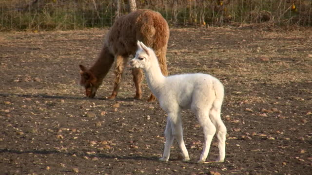 HD 1080i Alpaca Mother and Baby video