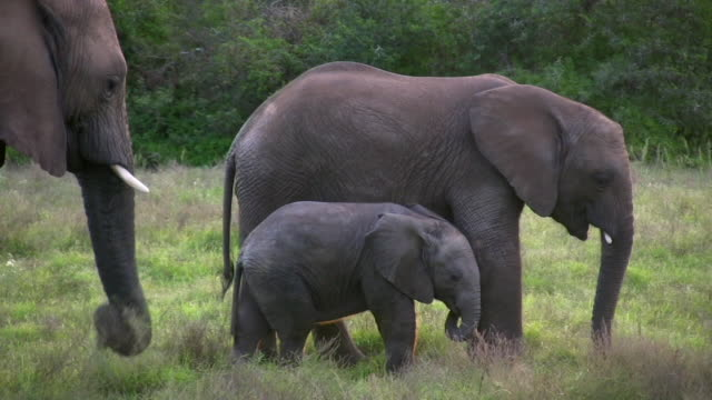 1080i Elephant famil grazing in the bush of South Africa video