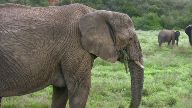 HD 1080i Elephants in South Africa 13 video