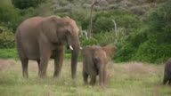 HD 1080i Elephants in South Africa 7 video