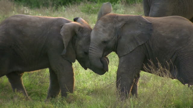 HD 1080i Elephants in South Africa 9 video