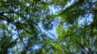 HD 1080i Forest Treetops 3 video