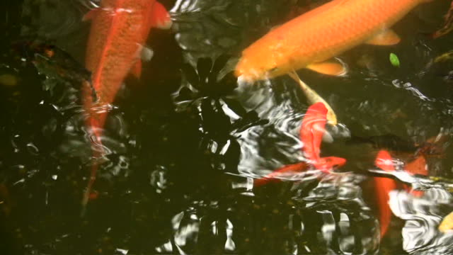 HD 1080i Gold Fish Koi in Pond 1 video