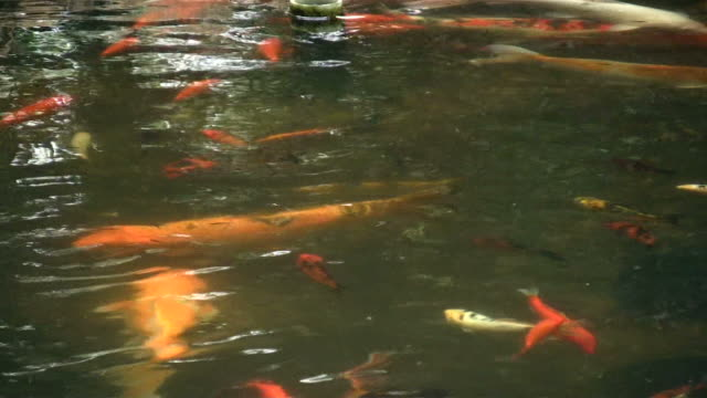 HD 1080i Gold Fish Koi in Pond 7 video
