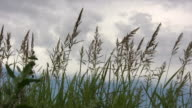 HD 1080i Grass blowing in West Texas Breeze 1 video